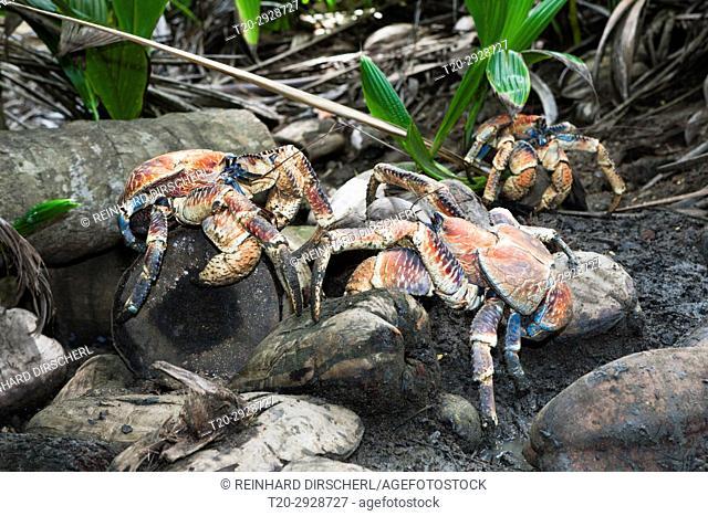 Group of Robber Crab, Birgus latro, Christmas Island, Australia