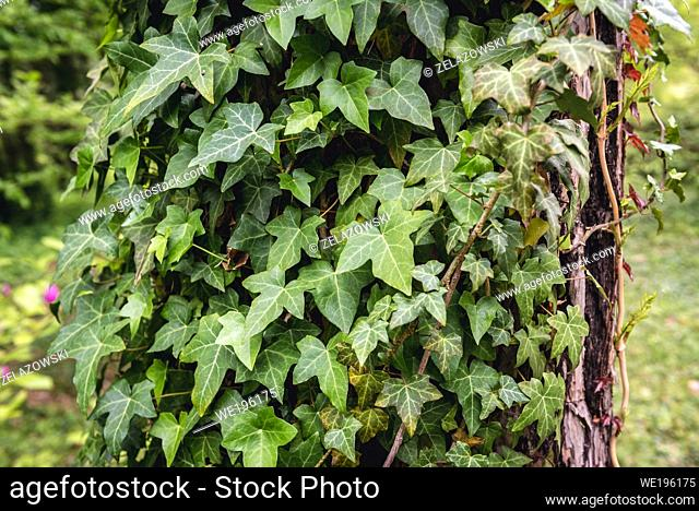 Close up on a tree trunk covered with ivy