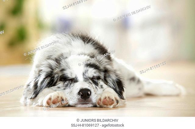 Border Collie. Puppy sleeping on parquet. Germany