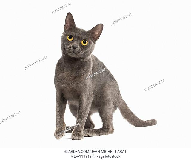 Burmese Cat in the studio