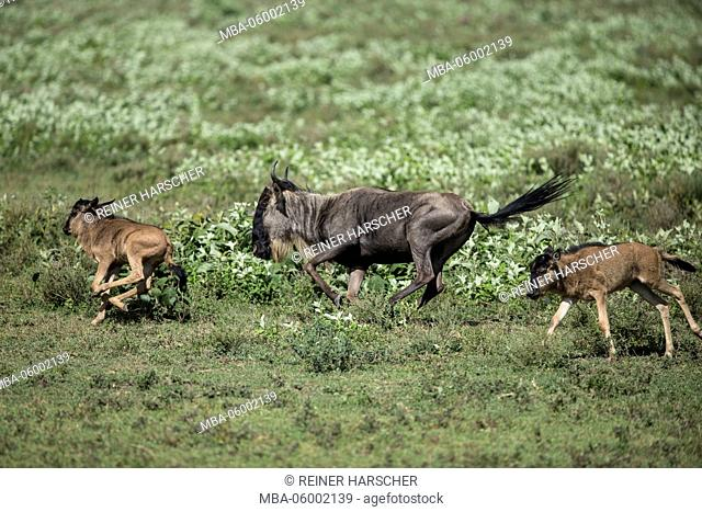 Tanzania, Serengeti national park, gnu's focuses with calves