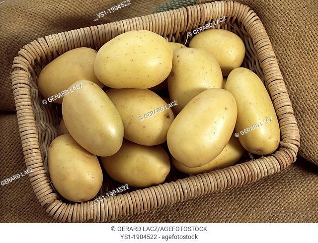 Mona Lisa Potato, solanum tuberosum, Vegetables in Basket