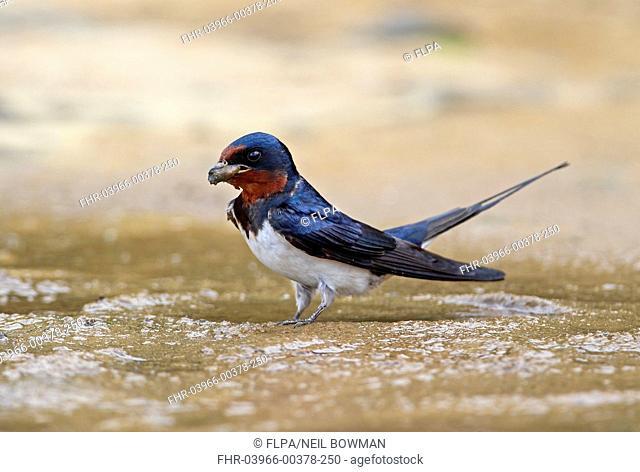 Barn Swallow (Hirundo rustica gutturalis) adult, collecting mud for nesting material, Taiwan, April