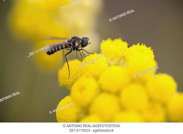 Insect and siempreviva olorosa (Helichrysum italicum L.). Almansa. Albacete. Spain
