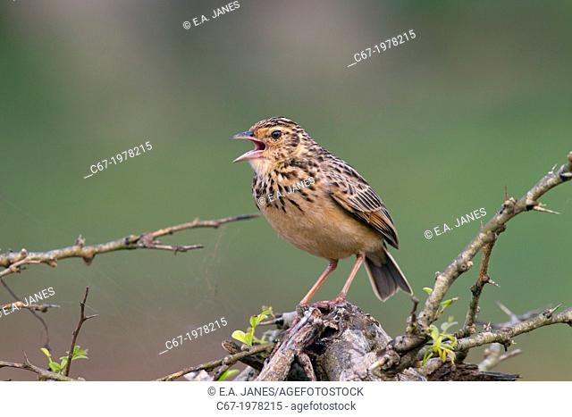 Jerdon's Bush Lark (Mirafra affinis) singing