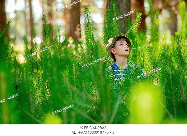 Boy hiking through young pine trees in forest