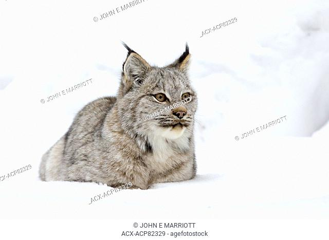 Wild lynx in Banff National Park