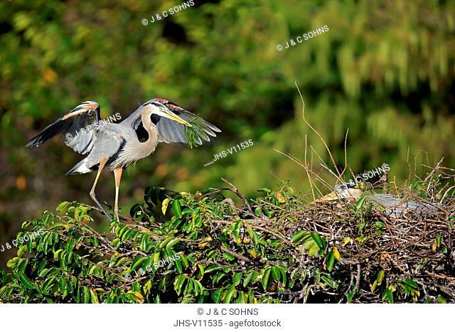 Great Blue Heron, (Ardea herodias), adult at nest with nesting material, Wakodahatchee Wetlands, Delray Beach, Florida, USA