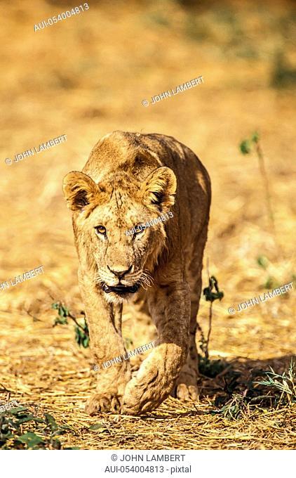 africa, tanzania, young lion