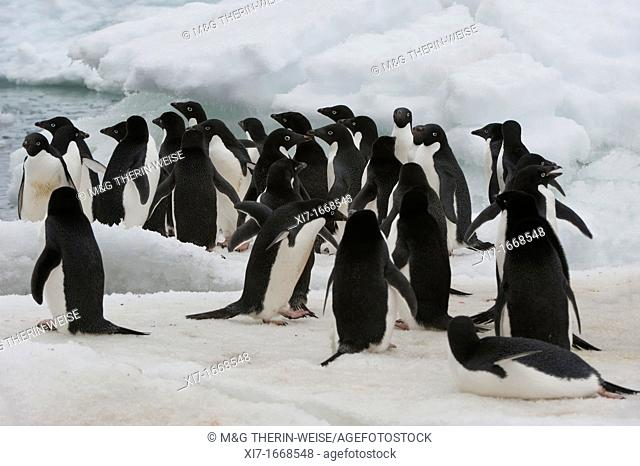 Group of Adelie Penguins Pygoscelis adeliae on the ice shelf, Brown Bluff, Peninsula Antarctica