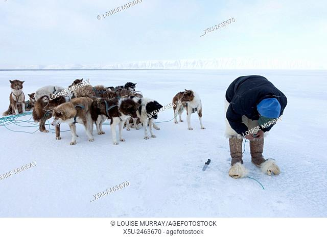 Inuit hunter preparing to stake his dog team on the sea ice . A hole is made in the ice and rope passed through it to anchor the dogs