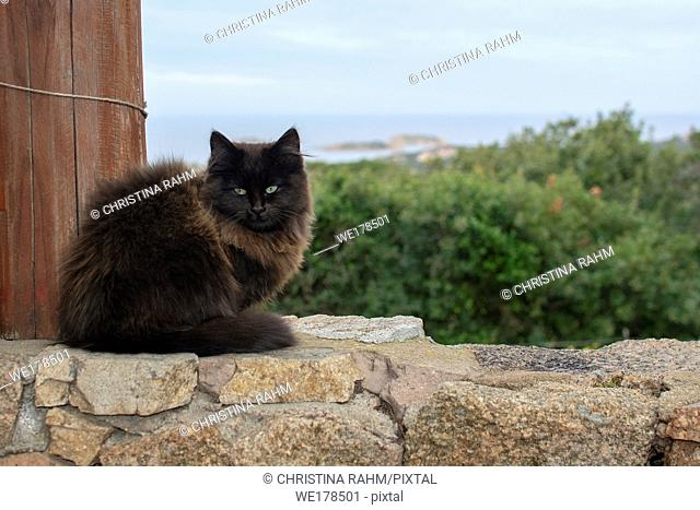 Dark brown cat sits on stone wall with sea view over the macchia in Sardinia, Italy