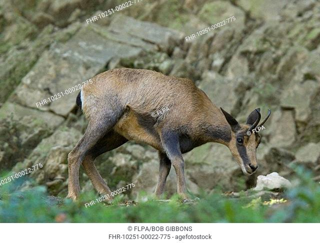 Pyrenean Chamois Rupicapra pyrenaica adult, standing, Pyrenees, France