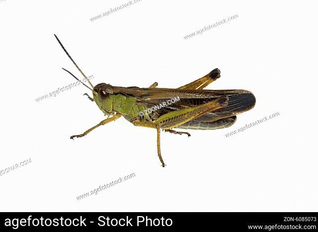 Feldheuschrecke; Chorthippus, biguttulus