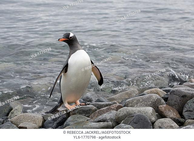 A gentoo penguin Pygoscelis papua leaves the ocean to walk on Cuverville Island, Antarctic Peninsula