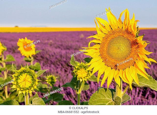 France, Provence Alps Cote d'Azur, Haute Provence, Plateau of Valensole. Lavender and sunflowers