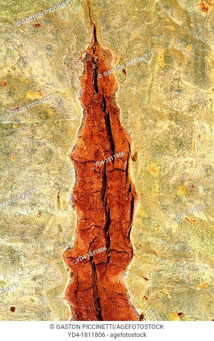 Bark detail of Fever tree Acacia xanthophloea, Kruger National Park, South Africa