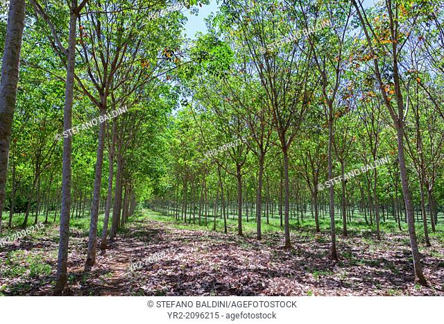 Rubber tree plantation, southern Thailand
