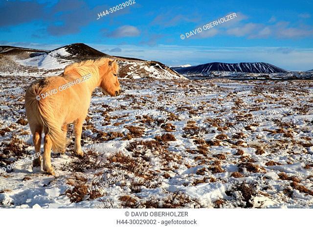 Europe, Island, Iceland horses, sceneries, Myvatn, horses, snow, mammals, animals, volcano island, winter