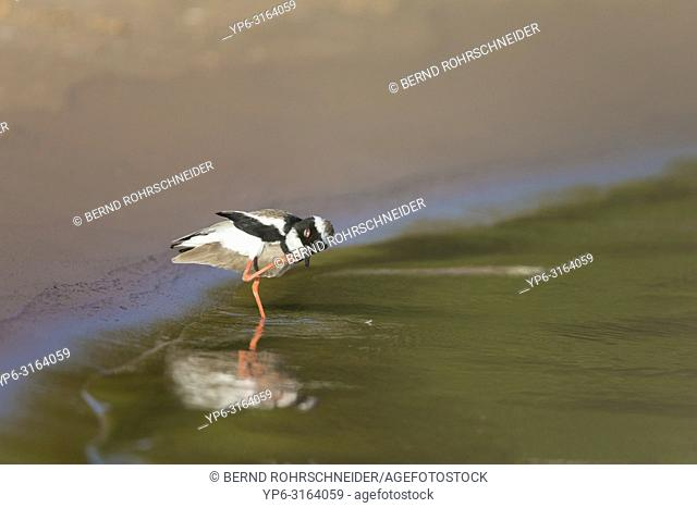 Pied lapwing (Vanellus cayanus), adult standing on riverbank, scratching, Pantanal, Mato Grosso, Brazil