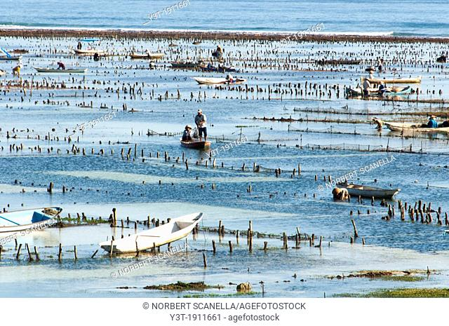 Asia, South-East Asia, Indonesia, Bali. Nusa Lembongan island. Harvesting of seaweed
