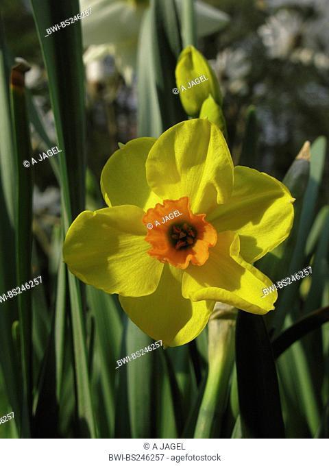 daffodil Narcissus Falconet, Narcissus 'Falconet', Tazetta, Poetaz, Bunch-flowered daffodil, cultivar Falconet
