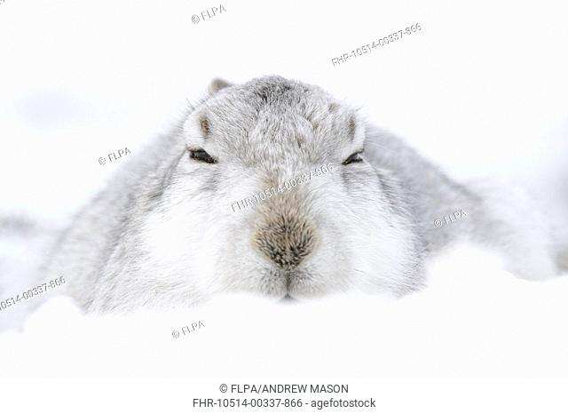 Mountain Hare (Lepus timidus) adult, in winter coat, sitting in form on snow covered hillside, Grampian Mountains, Highlands, Scotland, February