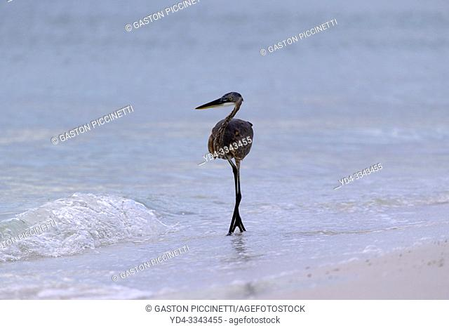 Little blue heron (Egretta caerulea), Siesta Key, Sarasota, Florida, USA.