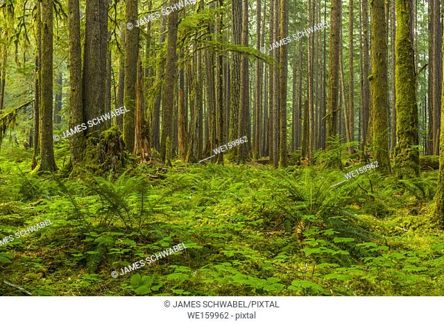 Ancient Groves Nature Trail though old growth forest in the Sol Duc section of Olympic National Park in Washington, United States