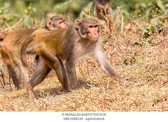South east Asia, India,Tripura state,Northern pig-tailed macaque (Macaca leonina)