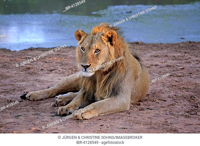Lion (Panthera leo), male, five years, resting, at the water, Tswalu Game Reserve, Kalahari Desert, North Cape, South Africa
