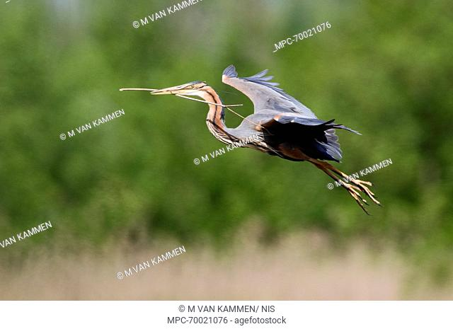 Purple Heron (Ardea purpurea) flying with stick in its bill, Ameide, Zuid-Holland, Netherlands