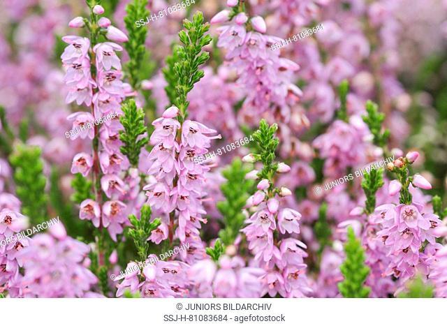 Flowering Heather (Erica sp.). Scotland