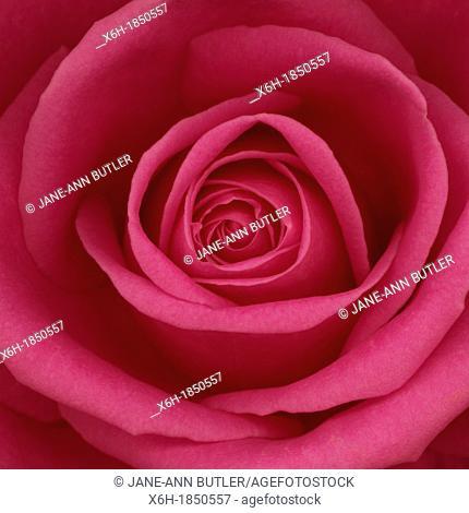 Beautiful open pink rose bloom, romantic