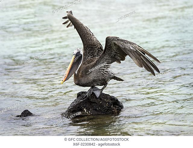 Brown Pelican (Pelicanus Occidentalis urinator), a subspecies endemic to Galapagos, Isabela Island, Galapagos Islands, Ecuador