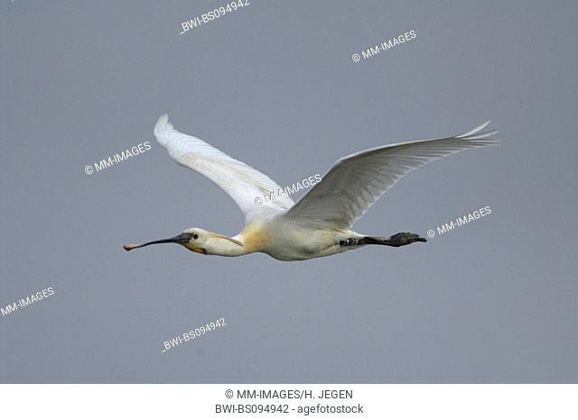 white spoonbill (Platalea leucorodia), flying, France