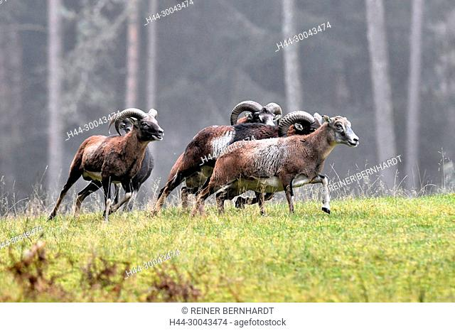 Mountain sheep, rut of the Mufflons, ruttish Arieses, horn-rimmed bearers, horns, muzzle spot, Mufflon, Mufflonbrunft, Mufflons, Mufflons in autumn