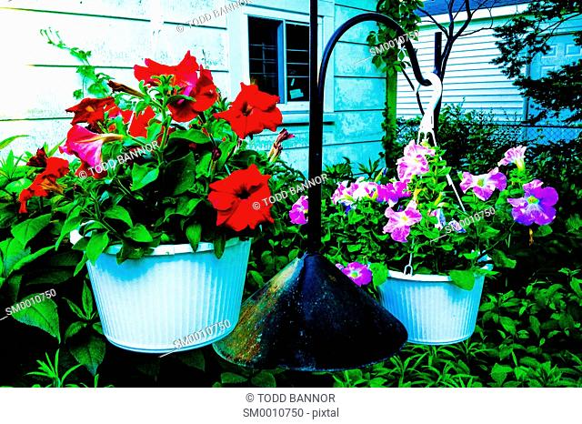 Hanging pots with red and violet petunias