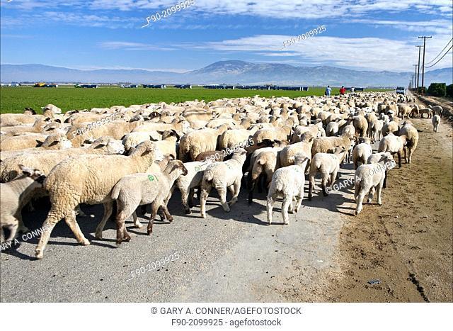 Shephards w dog driving flock of sheep-Kern Co. CA H