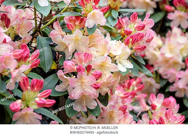 rhododendron (Rhododendron 'Percy Wiseman', Rhododendron Percy Wiseman), cultivar Percy Wiseman