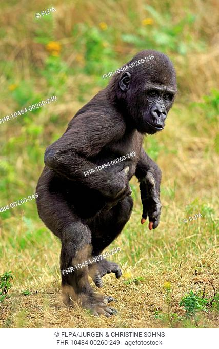 Western Lowland Gorilla (Gorilla gorilla gorilla) young, walking on grass (captive)