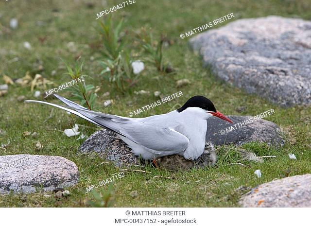 Arctic Tern (Sterna paradisaea) brooding chick underneath wings, Hudson Bay, Canada