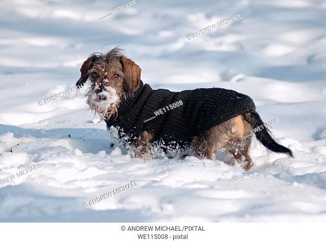 Snow loving dog in it's woolly jumper