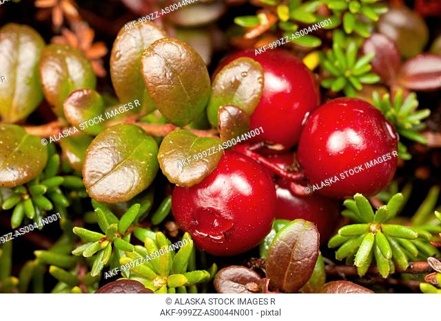 Macro view of Lowbush Cranberry growing in alpine area on Pillar Mountain, Kodiak Island, Southwest Alaska, Fall