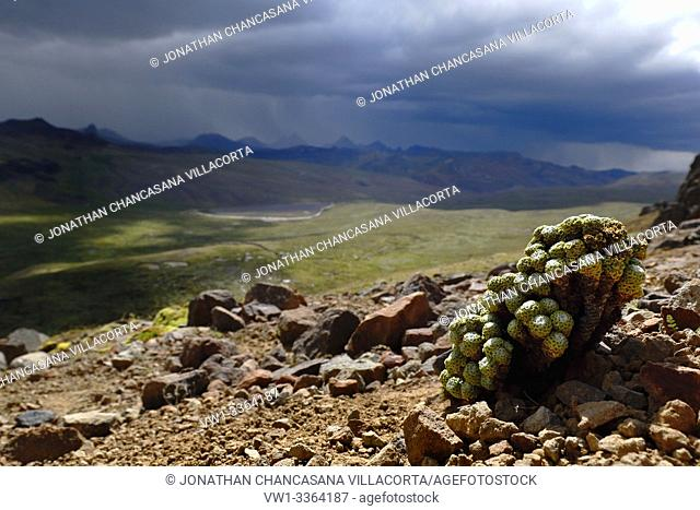 Andean plant (mniodes sp. ) Found in its natural environment in the heights of Huancavelica