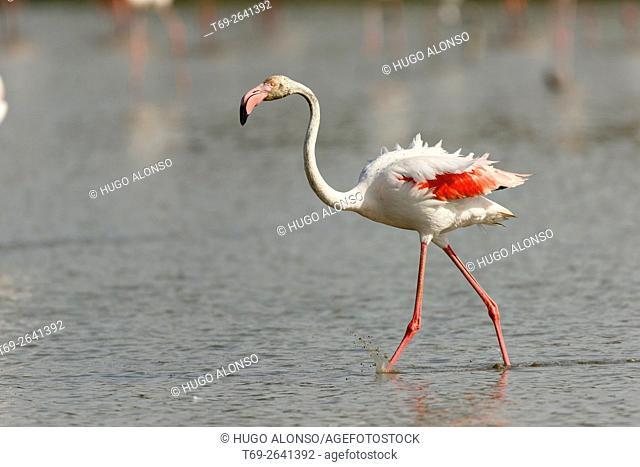 Greater flamingo. Phoenicopterus roseus
