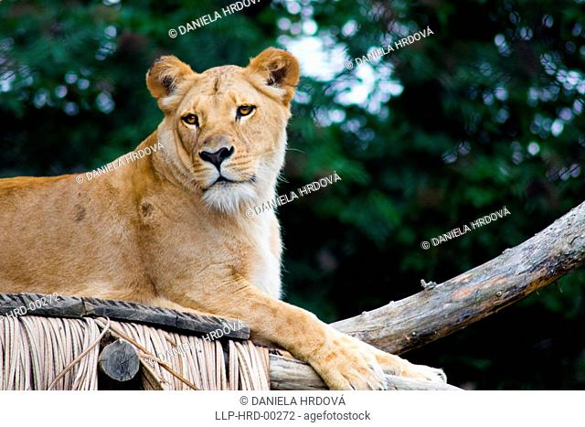 Lion, Lioness, ZOO Lesna