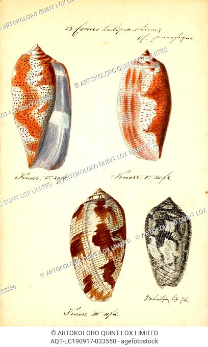 Conus tulipa, Print, Conus tulipa, common name the tulip cone, is a species of sea snail, a marine gastropod mollusk in the family Conidae