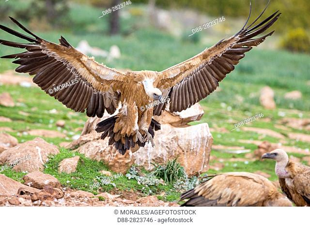 Europe, Spain, Catalonia, Lerida province, Boumort, Griffon vulture in the game reserve, feeding station