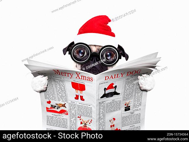 dumb crazy pug dog with nerd glasses as an office business worker, isolated on white background, on christmas holidays vacation with santa claus hat